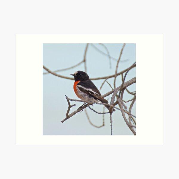 ROBIN ~ Scarlet Robin by David Irwin ~ WO Art Print