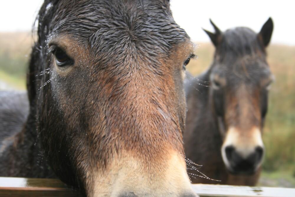 Exmoor Horses by Anna Leworthy