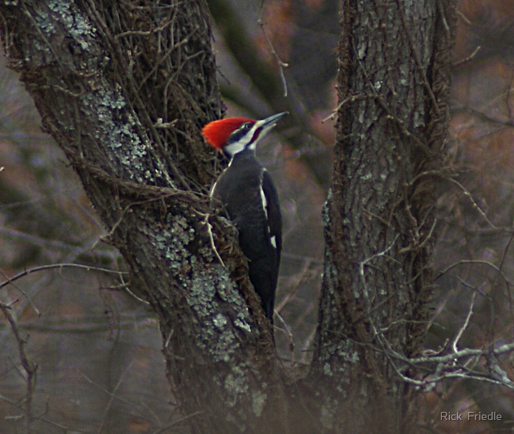 Pileated Woodpecker by Rick  Friedle