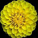 Yellow Dahlia by Lynda Anne Williams