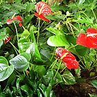 The Lily Anthurium scherzerianum in Gibraltar by Dennis Melling