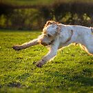 Orange and White Italian Spinone Dogs in Action III by heidiannemorris