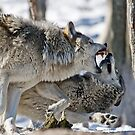 Timber Wolves Play Fighting by WolvesOnly