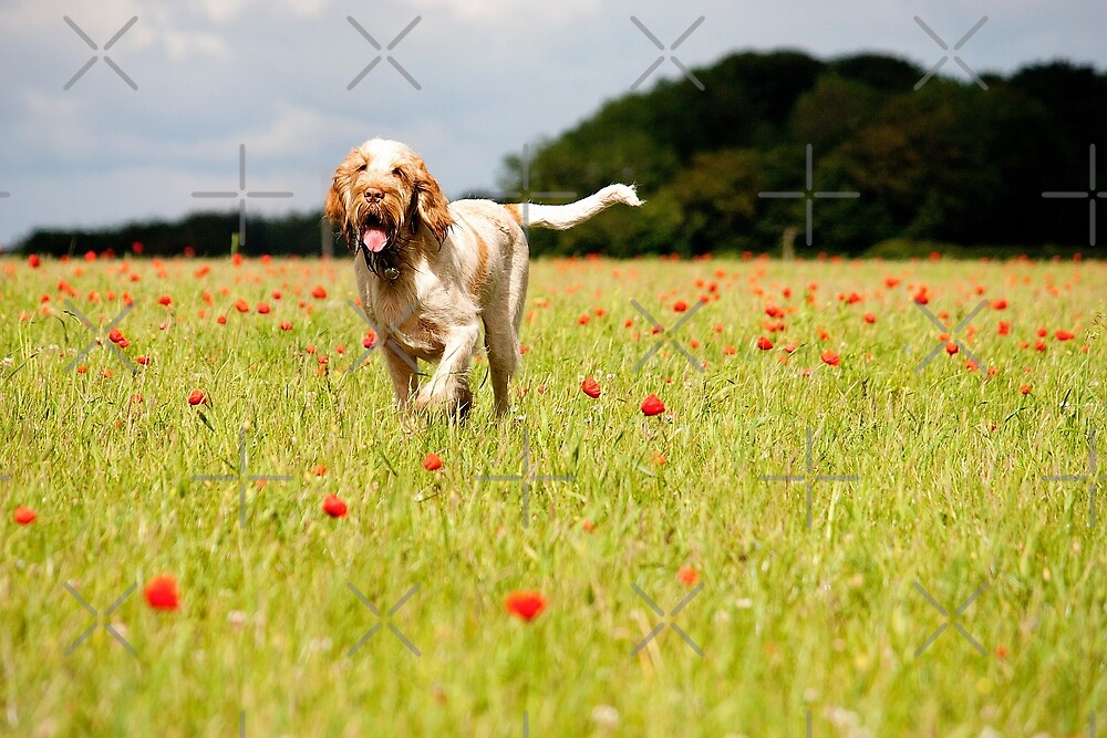 Orange and White Italian Spinone Dog in a Poppy Meadow by heidiannemorris