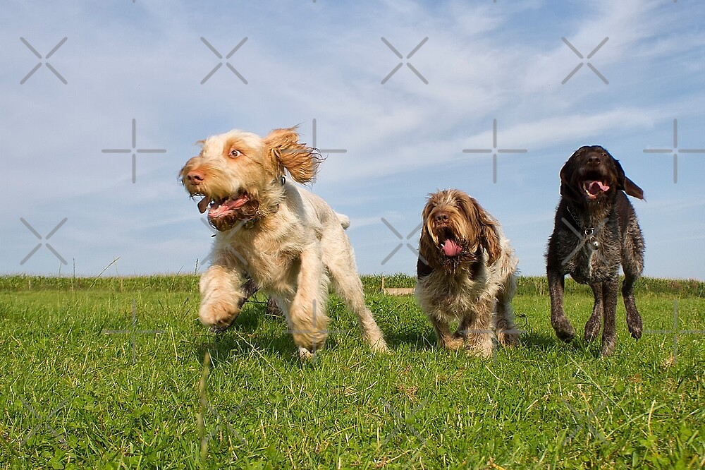 Orange and White, Brown Roan Italian Spinone Dogs and German Wirehaired Pointer Dogs by heidiannemorris