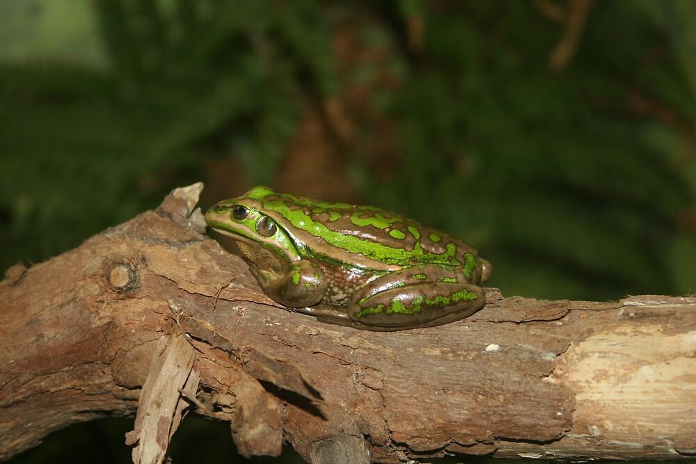 Golden Bell Frog by Jay Spadaro