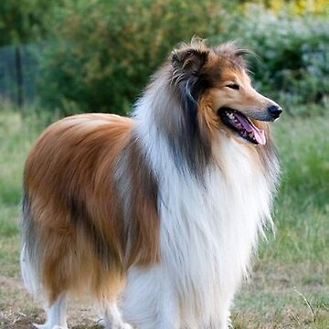 rough collie full fifth by marasdaughter