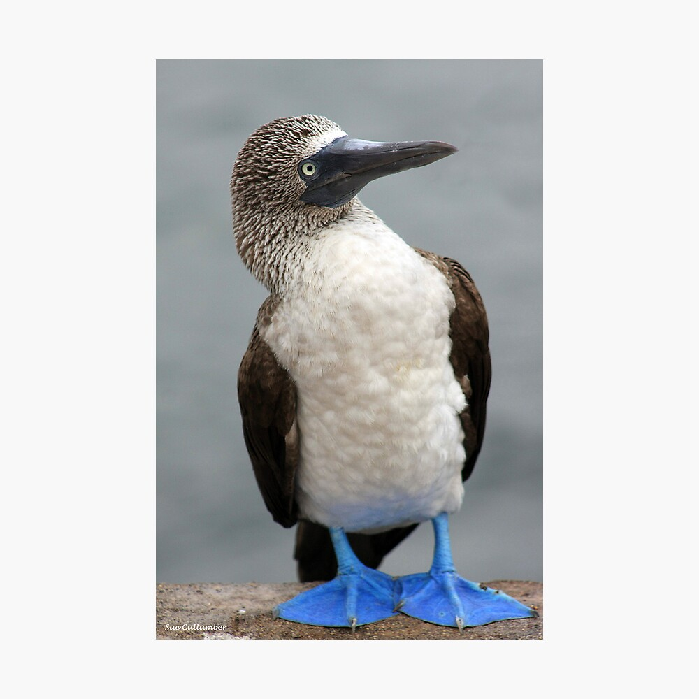 Blue Footed Booby Fotodruck