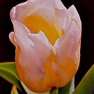 White And Yellow Tulip 2 by Lynda Anne Williams