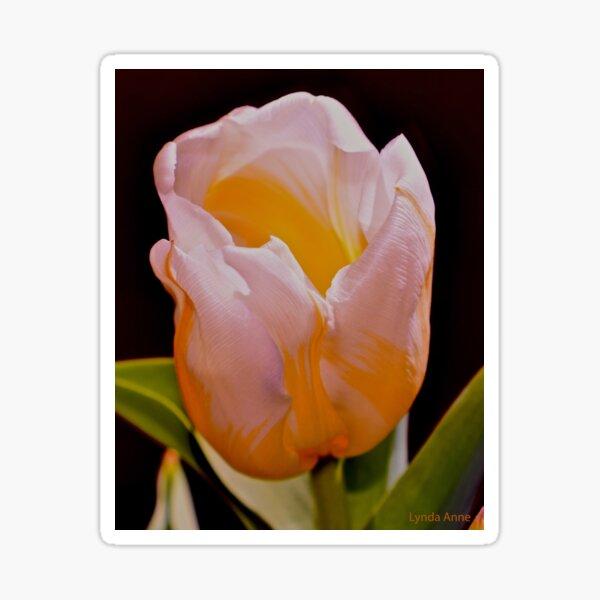White And Yellow Tulip 2 Sticker