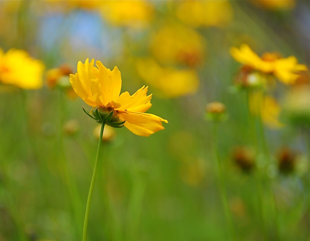 Coreopsis by Mary Canning