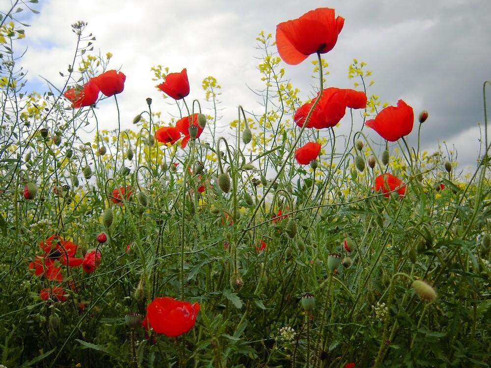 It's Poppy Season #1 by Graham Geldard