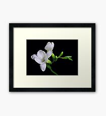 White Freesias Framed Print