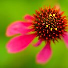 Points of an Echinacea by Alana Ranney