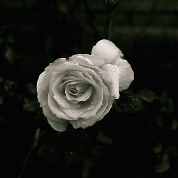 B&W rose by nicwise