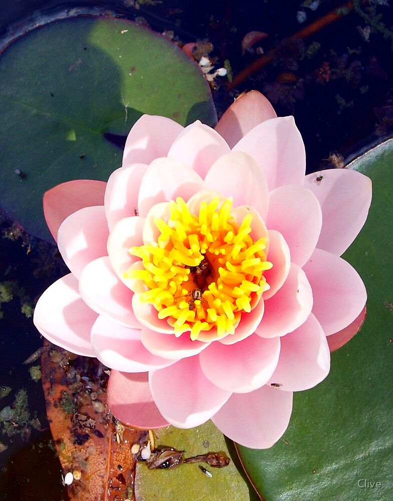 Water Lily by Clive