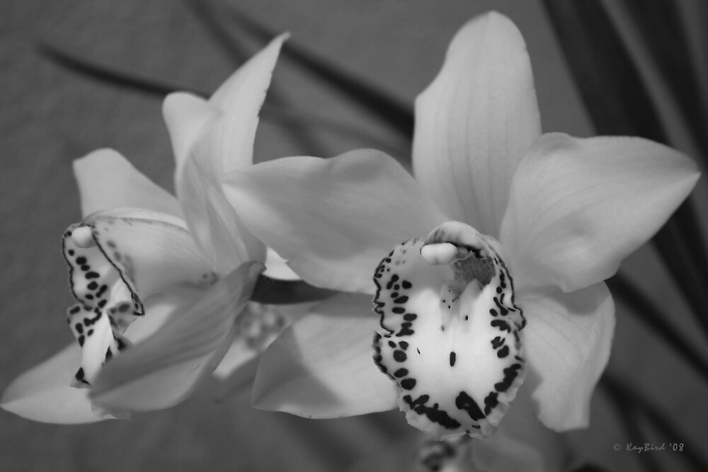 Cymbidium In Black & White by Kay  G Larsen