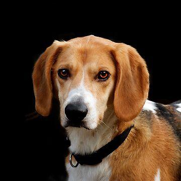 Beautiful Beagle by teapotore