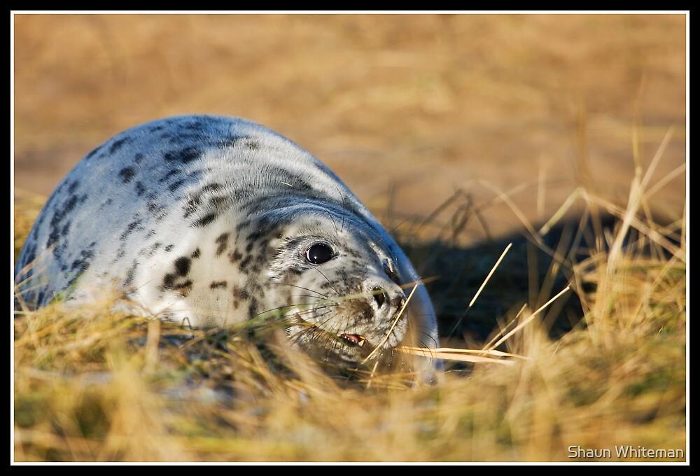 Grey seal pup at Donna Nook by Shaun Whiteman