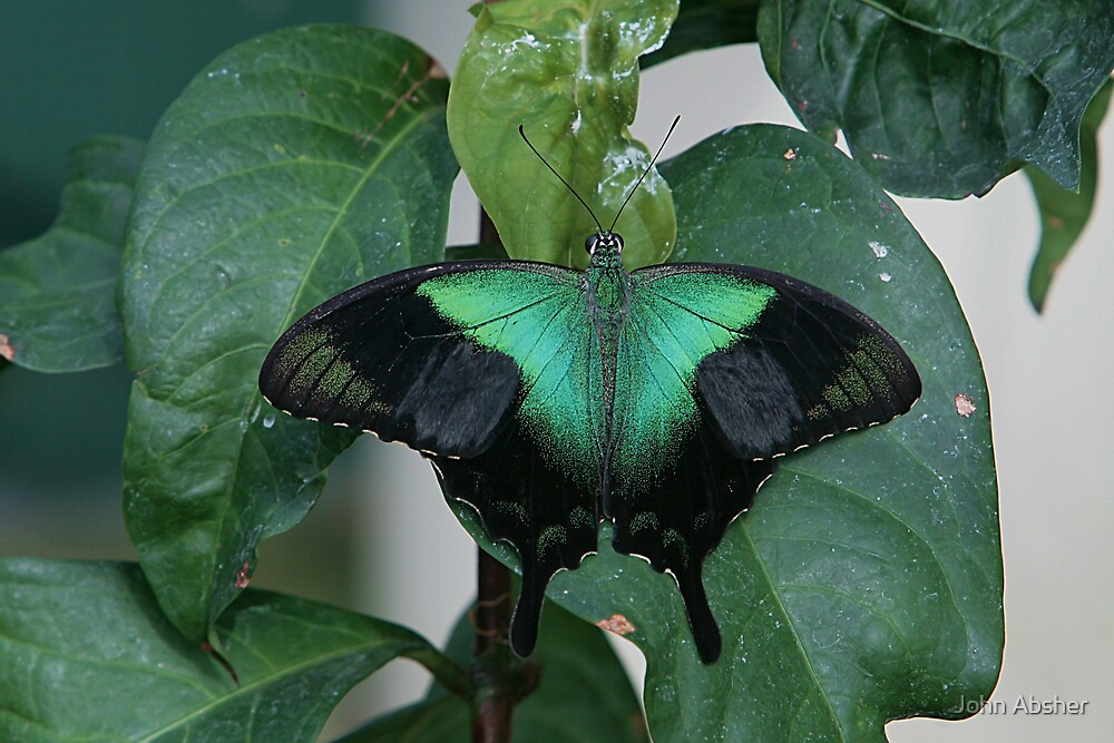Green Swallowtail Butterfly by John Absher