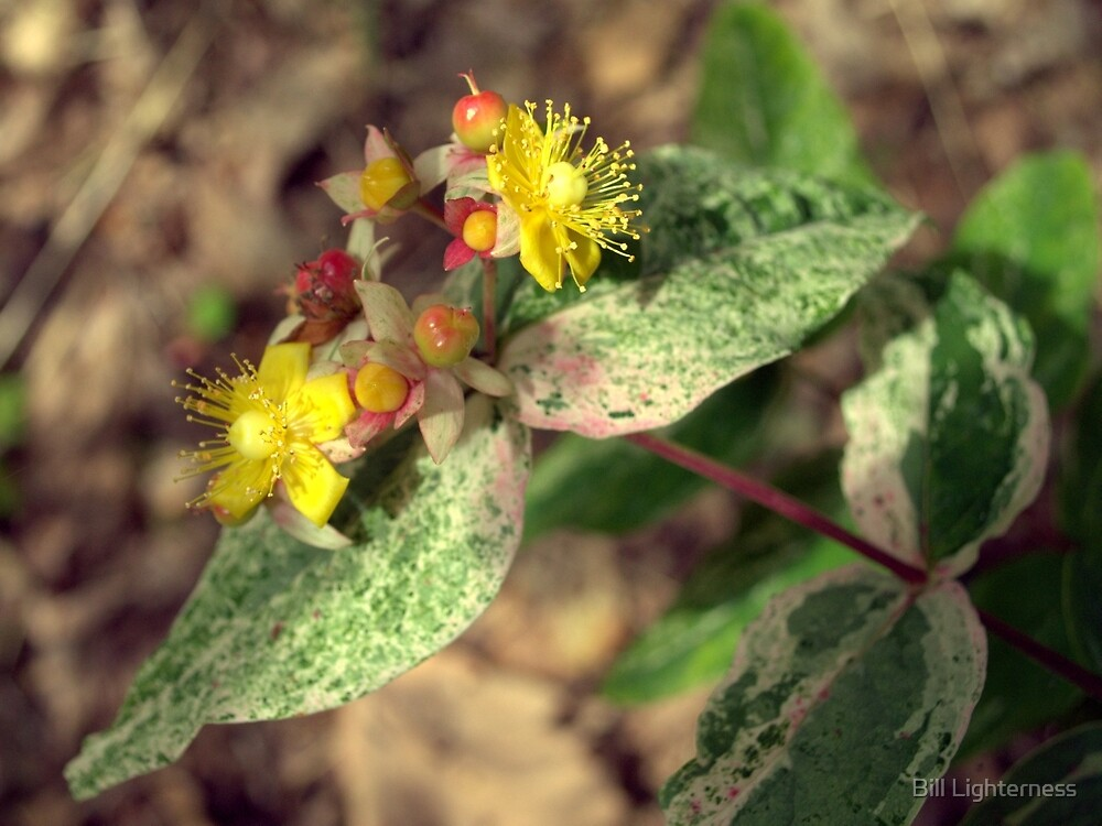 St.Johns Wort by Bill Lighterness