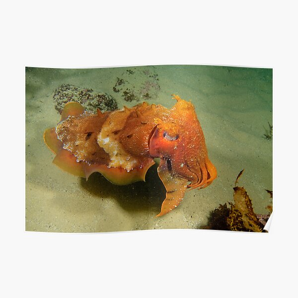 Giant Cuttlefish - Sepia apama Poster