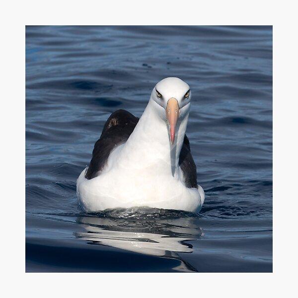 Campbell Albatross Photographic Print
