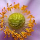 Japanese Windflower by SusanAdey