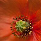Californian Poppy by SusanAdey