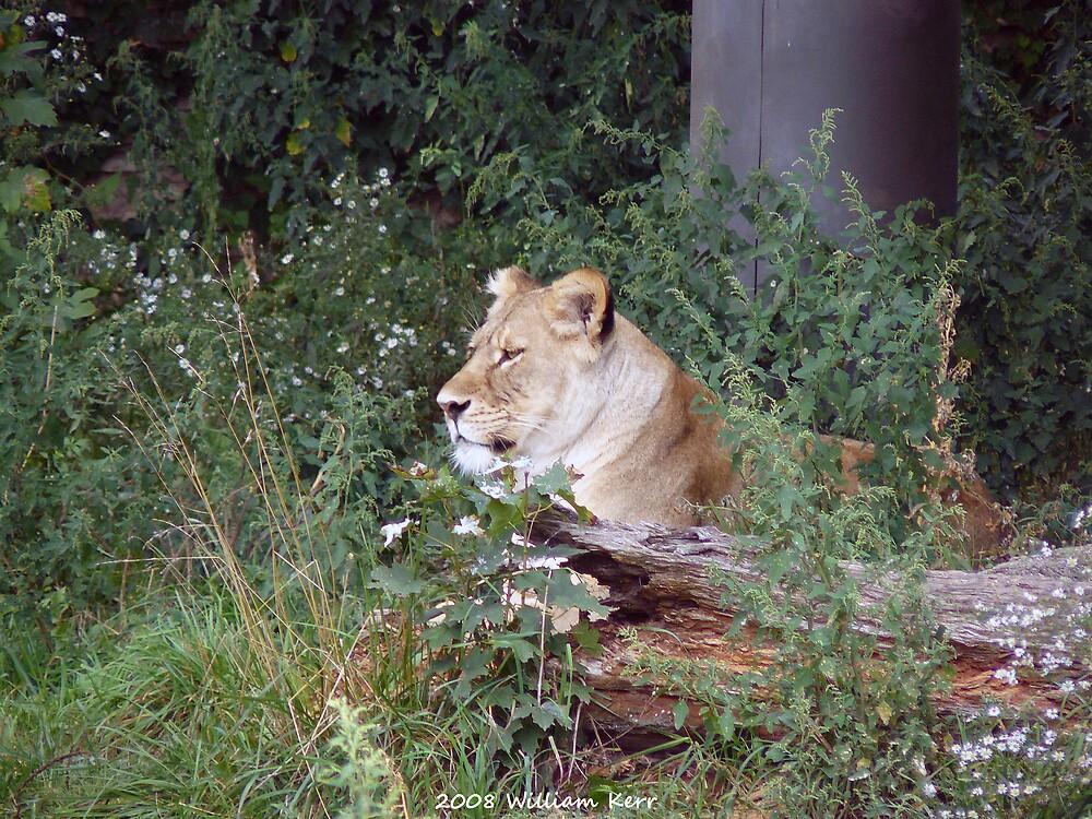 Lion by BillK