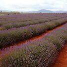 lavender rows at Nabowla by gaylene