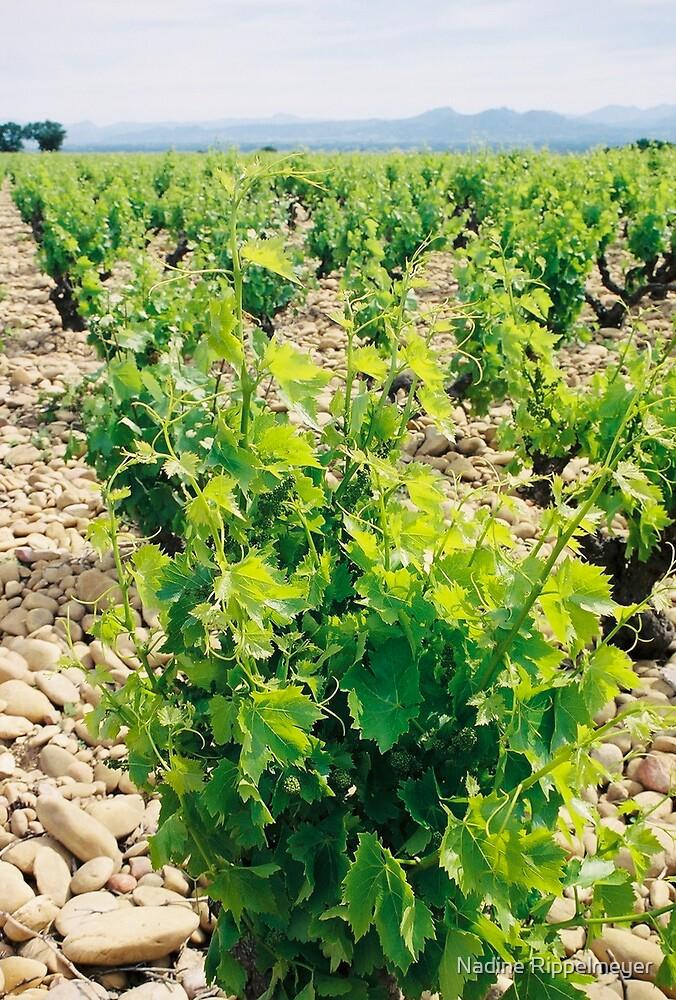 Spring Vineyard by Nadine Rippelmeyer