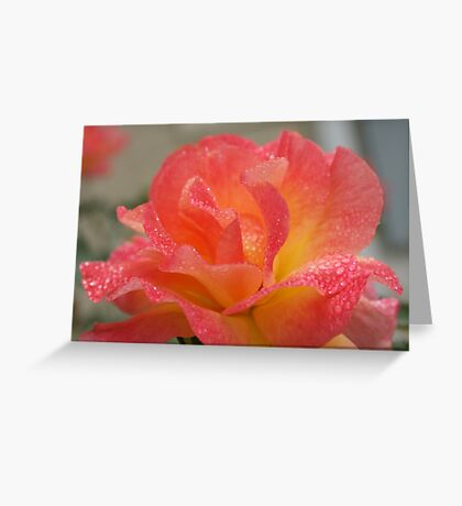 Rose of friendship - open and receiving the morning dew! Lee Family Garden Greeting Card