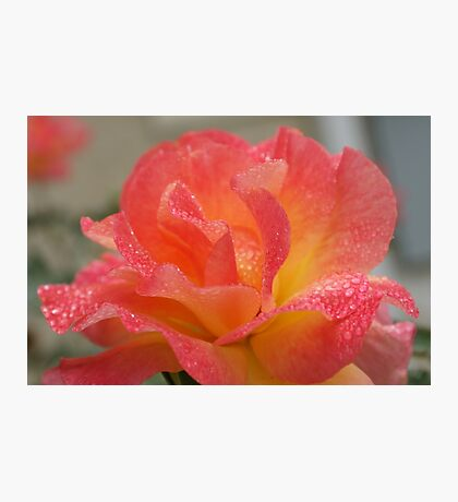Rose of friendship - open and receiving the morning dew! Lee Family Garden Photographic Print