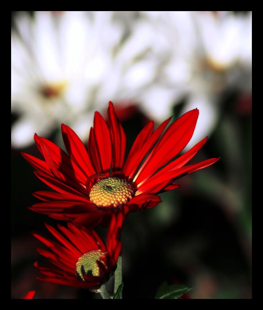red on white by ALEX GRICHENKO