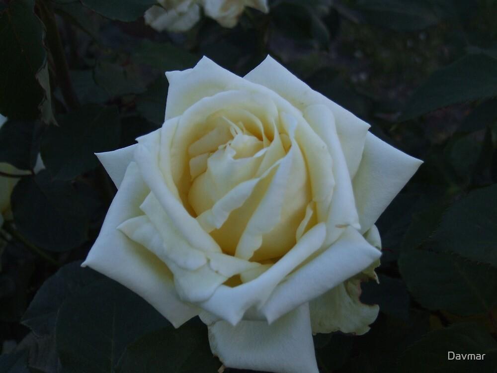 White Rose  by Davmar