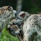 Timber Wolves Playing by WolvesOnly