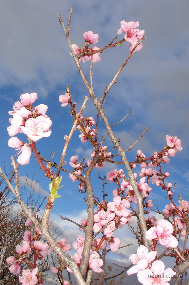 cherry blossom by naomi moore