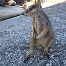 Rock Wallaby 2_Queensland_Australia by Kay Cunningham