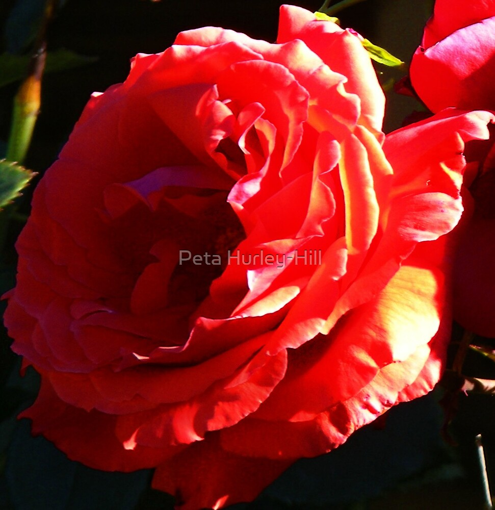 My Roses by Peta Hurley-Hill