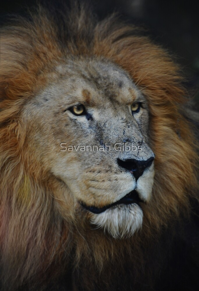 Lion by S Gibbs
