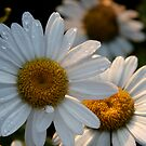 Daisy by Stacey Vincent