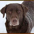 Labrador in the Snow for the Holiday's by tawaslake