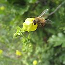 Honey Bee by Bellavista2