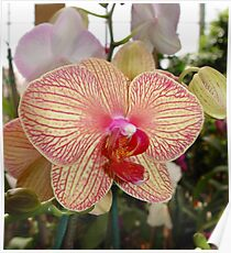 Phalaenopsis with red veins Poster