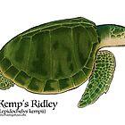 Kemp's Ridley Sea Turtle by Artwork by Joe Richichi
