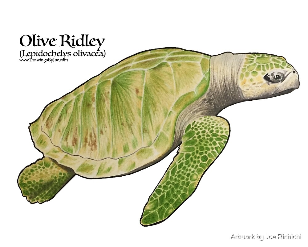 Olive Ridley Sea Turtle by Artwork by Joe Richichi