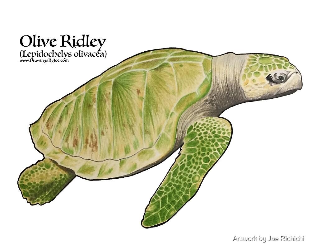Olive Ridley Sea Turtle by Artwork by Joe Richichi
