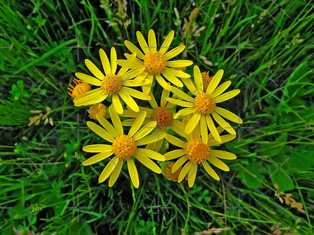 Hairy Golden Aster by Vickie Emms