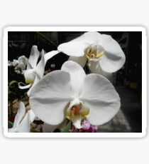 Pure and Lovely - Phalaenopsis Sticker